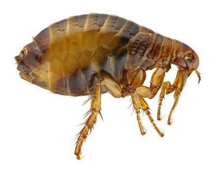 we control fleas in swindon