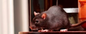 Specialists Rat Control Swindon And Wiltshire