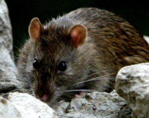 Rat Control Swindon