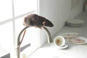 Rats Lockdown